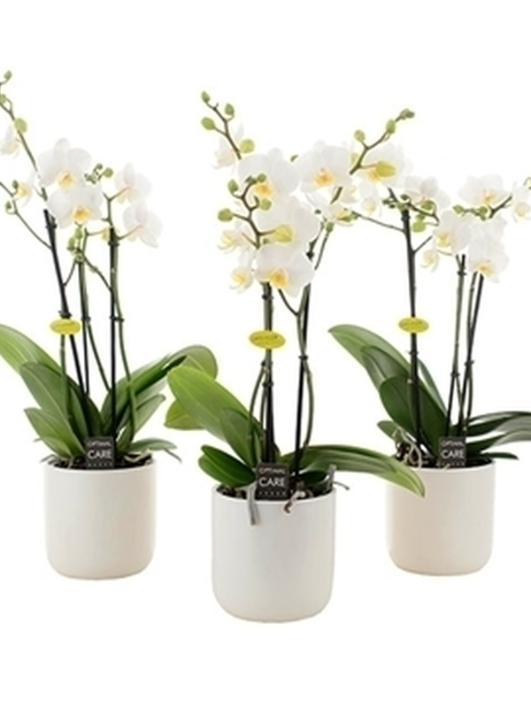 orchidee met wit pot