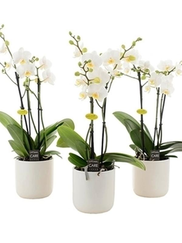 orchidee met wit pot