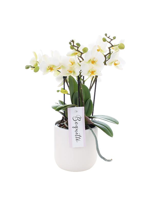 orchidee met witte pot